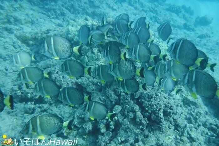 ハナウマ湾の魚群