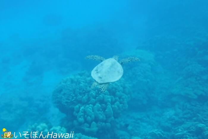 ハナウマ湾のウミガメ