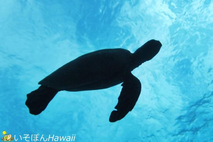 海中から撮ったウミガメのシルエット