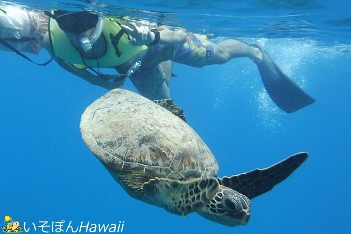 ハナウマ湾のウミガメとカップル