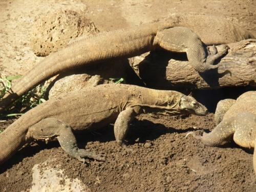 ホノルル動物園のコモドドラゴン画像