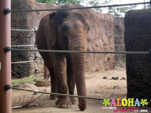 ホノルル動物園内14アジアゾウ画像1