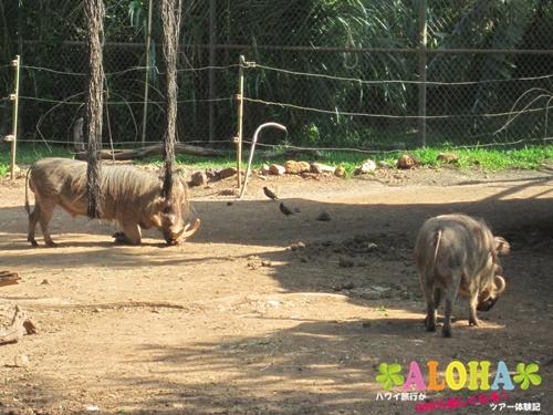 ホノルル動物園内16イボイノシシ画像