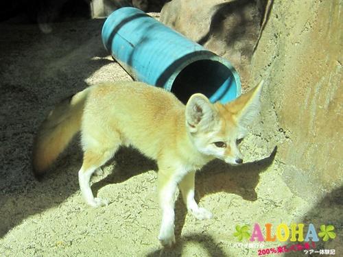 ホノルル動物園内21フェネック画像
