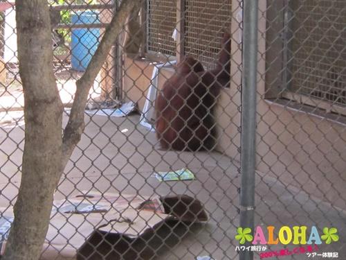 ホノルル動物園内9オランウータン画像