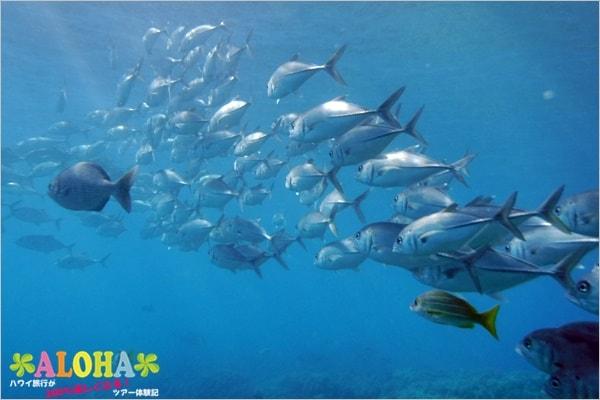 ハナウマ湾の水中写真(ガイド)