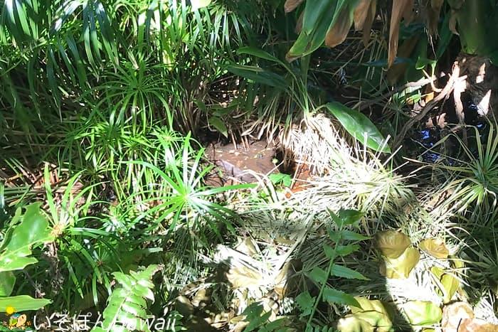 クナワイの泉の泥