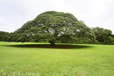 モアナルア・ガーデンの日立の樹